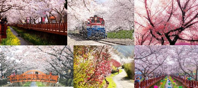 jinhae cherry blossom 1