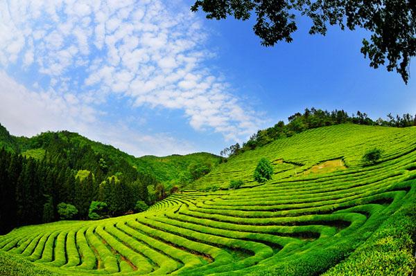 boseong-green-tea1