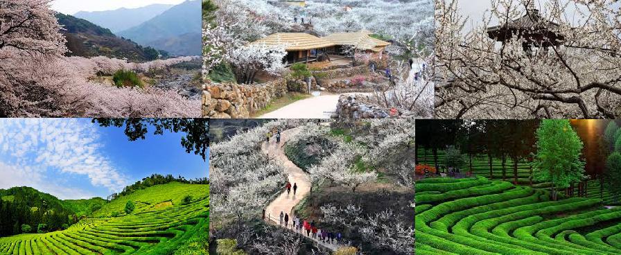 Gwangyang maehwa green tea trip