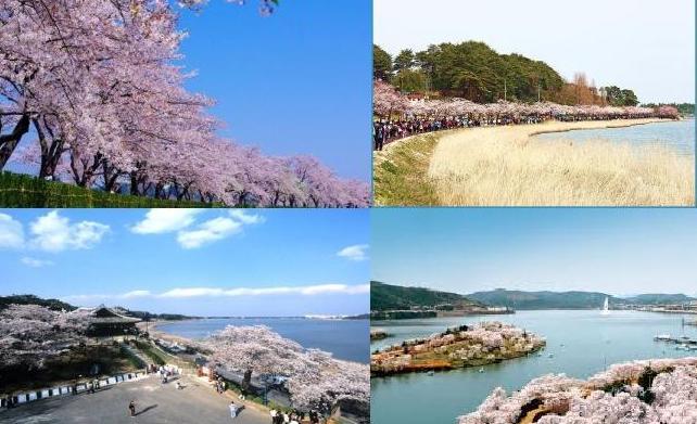Gyeongpo lake cherry April 15