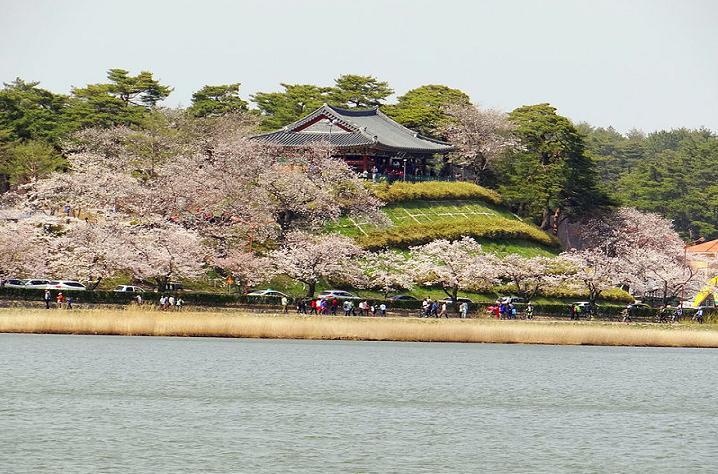 Gyeonpo Lake cherry 2