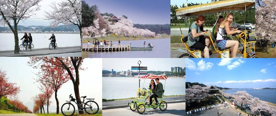 Gyeongpo cherry and bike trip